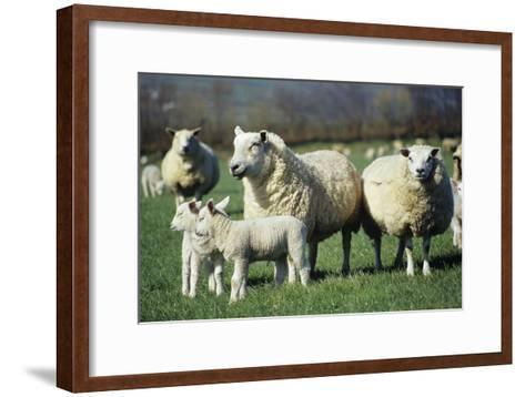 Domestic Sheep-David Aubrey-Framed Art Print