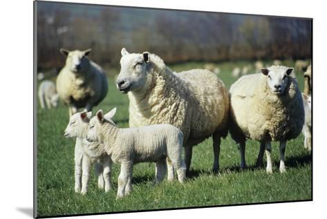 Domestic Sheep-David Aubrey-Mounted Photographic Print