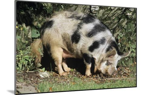 Kune Kune Pig-David Aubrey-Mounted Photographic Print
