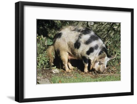 Kune Kune Pig-David Aubrey-Framed Art Print