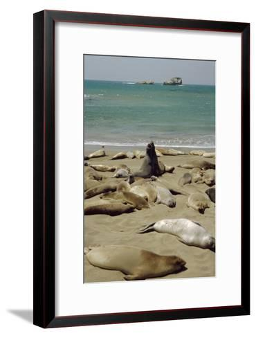 Northern Elephant Seals-Diccon Alexander-Framed Art Print