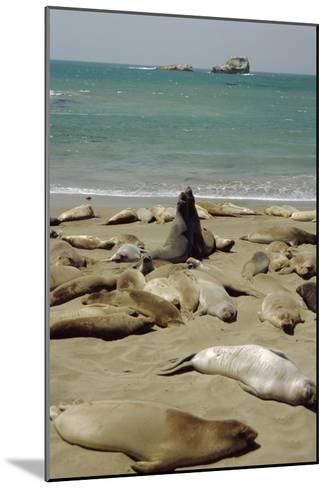 Northern Elephant Seals-Diccon Alexander-Mounted Photographic Print