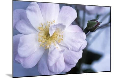 Rose 'Blush Noisette'-Maxine Adcock-Mounted Photographic Print