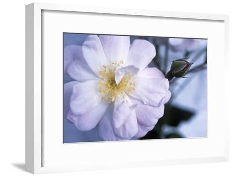Rose 'Blush Noisette'-Maxine Adcock-Framed Art Print