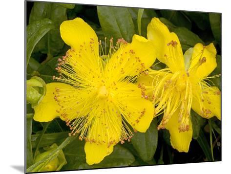 Rose-of-Sharon (Hypericum Calycinum)-Bob Gibbons-Mounted Photographic Print