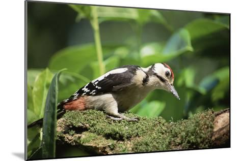 Great Spotted Woodpecker-David Aubrey-Mounted Photographic Print