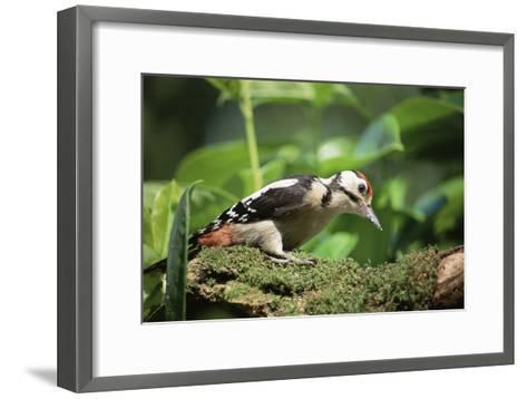Great Spotted Woodpecker-David Aubrey-Framed Art Print