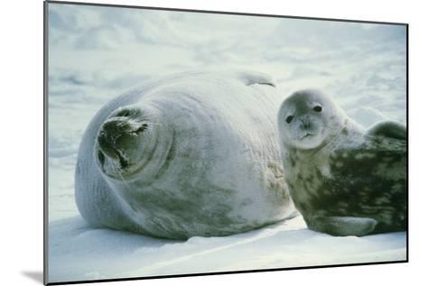 Weddell Seals-Doug Allan-Mounted Photographic Print