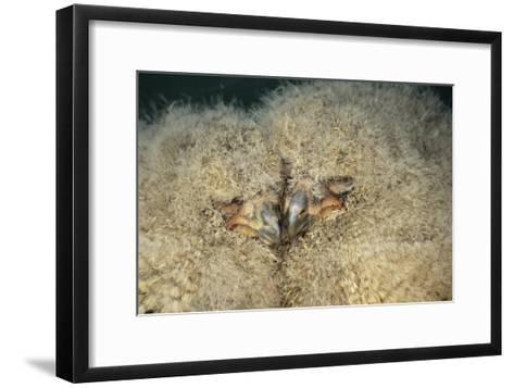 European Eagle Owl Chicks-David Aubrey-Framed Art Print