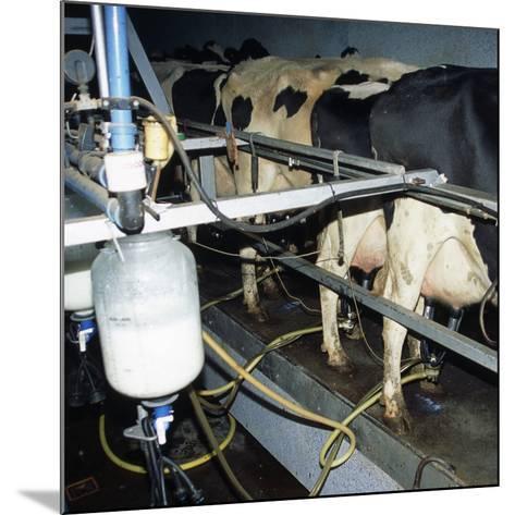 Milking Dairy Cows-David Aubrey-Mounted Photographic Print