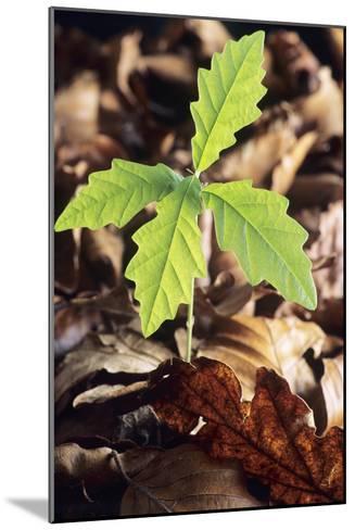 Oak Tree (Quercus Sp.) Seedling-David Aubrey-Mounted Photographic Print