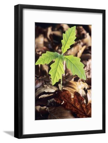 Oak Tree (Quercus Sp.) Seedling-David Aubrey-Framed Art Print