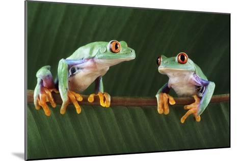 Red-eyed Tree Frogs-David Aubrey-Mounted Photographic Print