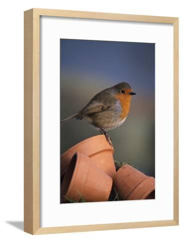 European Robin-David Aubrey-Framed Art Print