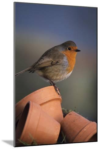 European Robin-David Aubrey-Mounted Photographic Print