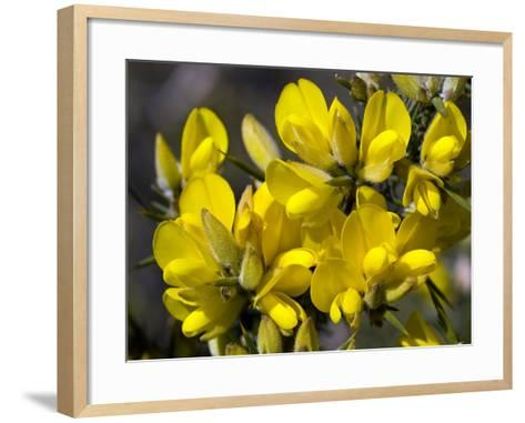 Common Gorse (Ulex Europaeus)-Adrian Bicker-Framed Art Print