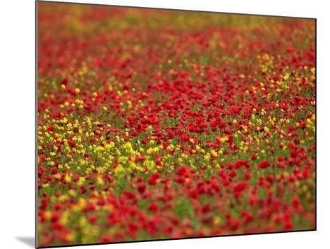 Field Poppy (Papaver Rhoeas)-Adrian Bicker-Mounted Photographic Print