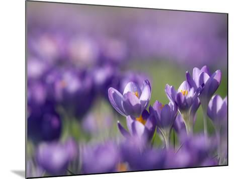 Crocus Tommasinianus-Adrian Bicker-Mounted Photographic Print