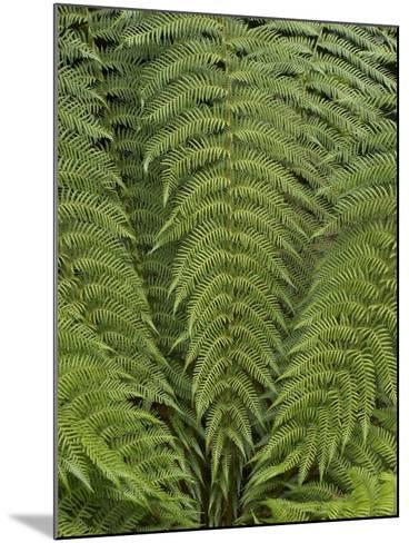 Tree Fern (Dicksonia Antarctica)-Adrian Bicker-Mounted Photographic Print