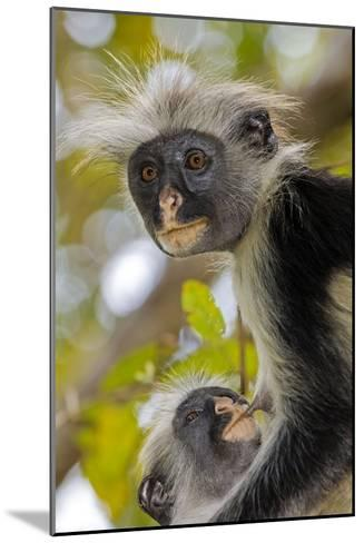 Zanzibar Red Colobus Monkeys-Tony Camacho-Mounted Photographic Print