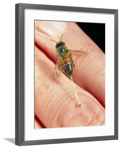 Honeybee Stinging a Finger-Dr. Jeremy Burgess-Framed Art Print