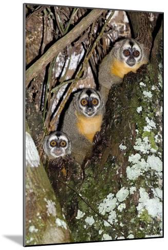 Three-striped Owl Monkeys-Tony Camacho-Mounted Photographic Print
