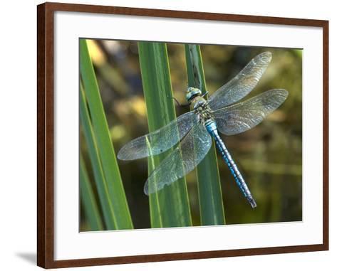 Male Emperor Dragonfly-Adrian Bicker-Framed Art Print