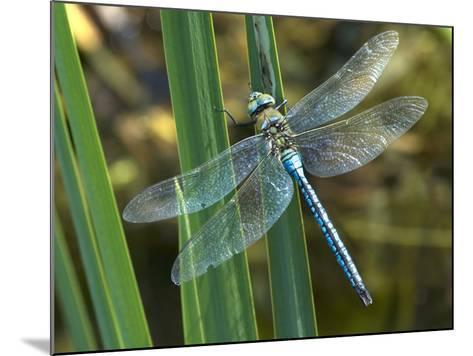 Male Emperor Dragonfly-Adrian Bicker-Mounted Photographic Print