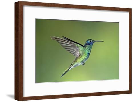 Sparkling Violetear Hummingbird-Tony Camacho-Framed Art Print