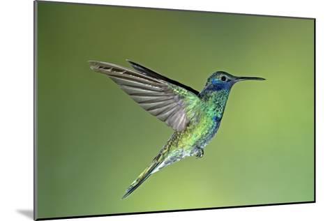 Sparkling Violetear Hummingbird-Tony Camacho-Mounted Photographic Print
