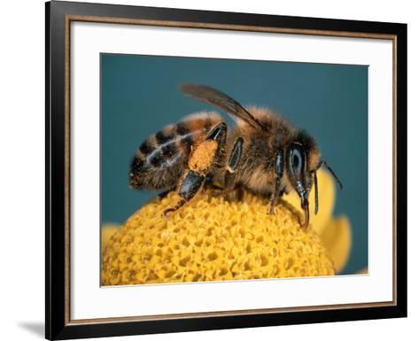 Honey Bee on Flower-Dr^ Jeremy-Framed Art Print