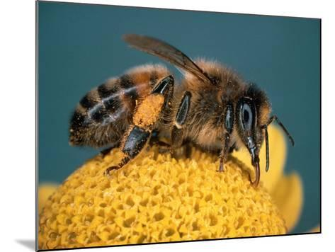 Honey Bee on Flower-Dr^ Jeremy-Mounted Photographic Print