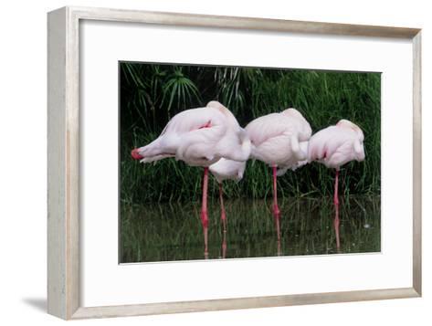 Greater Flamingos Sleeping-Tony Camacho-Framed Art Print