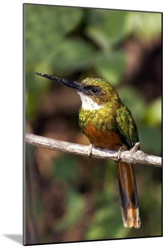 Rufous-tailed Jacamar Male-Tony Camacho-Mounted Photographic Print