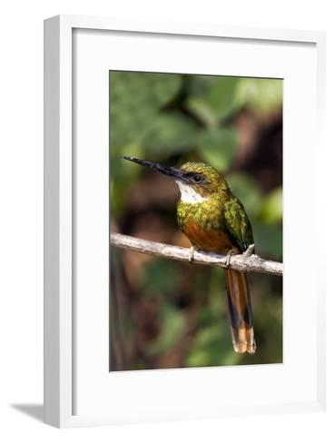 Rufous-tailed Jacamar Male-Tony Camacho-Framed Art Print