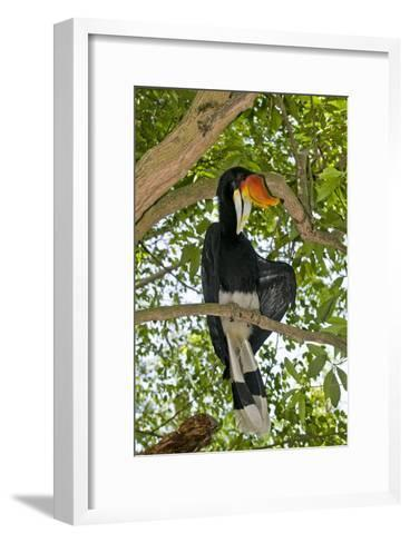 Male Rhinoceros Hornbill In a Tree-Tony Camacho-Framed Art Print