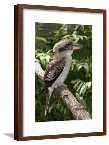 Laughing Kookaburra-Tony Camacho-Framed Art Print