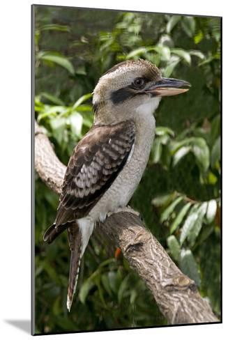 Laughing Kookaburra-Tony Camacho-Mounted Photographic Print
