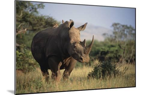 White Rhinoceros-Peter Chadwick-Mounted Photographic Print