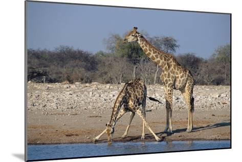 Giraffes-Peter Chadwick-Mounted Photographic Print