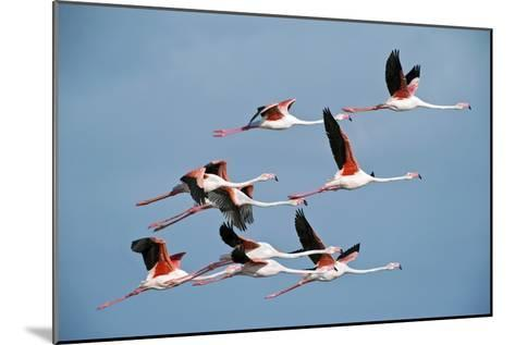 Greater Flamingoes-Tony Camacho-Mounted Photographic Print
