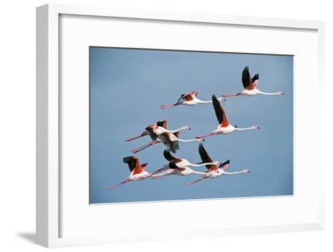 Greater Flamingoes-Tony Camacho-Framed Art Print
