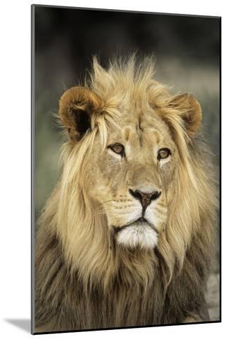 Male Lion-Peter Chadwick-Mounted Photographic Print