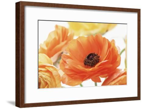 Persian Buttercup (Ranunculus Asiaticus)-Erika Craddock-Framed Art Print