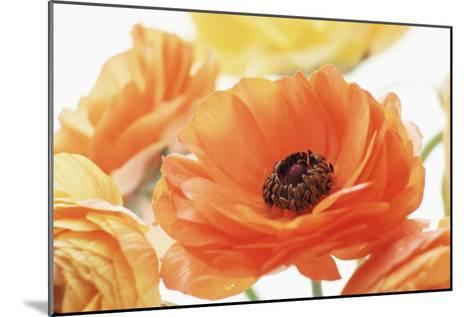 Persian Buttercup (Ranunculus Asiaticus)-Erika Craddock-Mounted Photographic Print