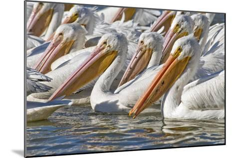 American White Pelicans-Clay Coleman-Mounted Photographic Print
