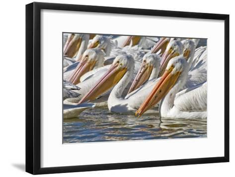 American White Pelicans-Clay Coleman-Framed Art Print