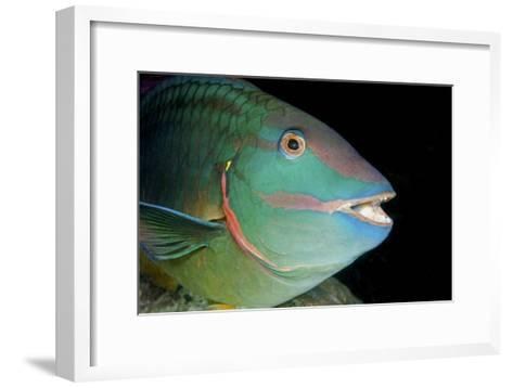 Stoplight Parrotfish-Clay Coleman-Framed Art Print