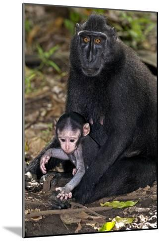 Crested Black Macaque And Baby-Tony Camacho-Mounted Photographic Print