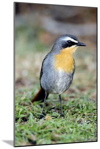 Cape Robin-chat-Peter Chadwick-Mounted Photographic Print